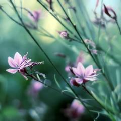 The Beauty of Life (Maureen F.) Tags: life flower colors wednesday bravo dof bokeh squared gaura happyearthday hbw infinestyle platinumheartaward
