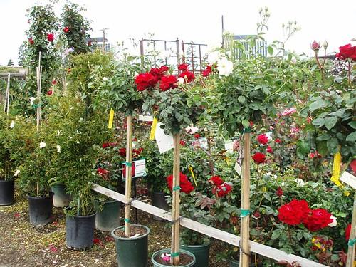 tree, shrub and vine roses