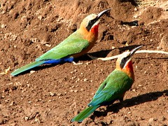 White-fronted Bee Eaters (biancapreusker) Tags: africa game bird animal wildlife aves safari botswana chobe beeeater canonpowershots2 whitefrontedbeeeater meropsbullockoides thewonderfulworldofbirds