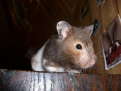 """What's down there?""-Choc (ChocoladeHam) Tags: pet brown white cute grass fruit rodent chocolate picture adorable ham cutie tricks carrot hamster begging choc chocoladeham"