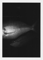 Fish (sofierycken) Tags: fish coneyisland holga acquarium