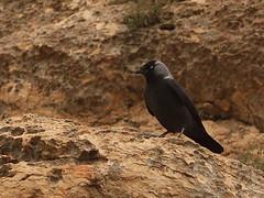 Eurasian Jackdaw (Corvus monedula)/    (Mehdi Kavousian) Tags: bird iran  birdwatching mahabad  jackdaw corvus corvusmonedula eurasianjackdaw azarbayjan monedula westernjackdaw     soemmerringii westazarbayjan  azarbayjanghabi fakhrgah    corvusmonedulasoemmerringii