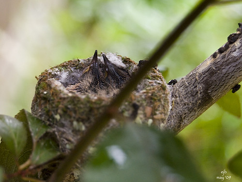 Hummingbird chicks 2
