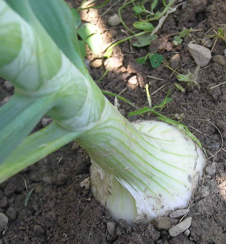 Onion in a Small Kitchen Garden