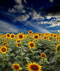 Sun Flowers (GOPAN G. NAIR [ GOPS Photography ]) Tags: new india photography gold dragon sunflower tamilnadu gops nikonflickraward ubej dragondaggerphoto dragondaggeraward gopsorg gopangnair