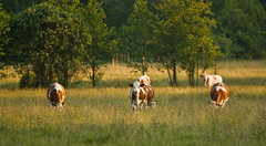 Vaches montbliardes (Mathieu GUY) Tags: light sunset summer france canon french landscape eos evening soleil cows jura mk2 paysage soir 1ds 2009 comte mkii franche