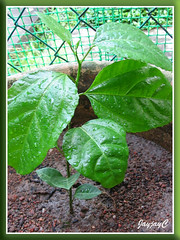 A potted purple Passion Fruit seedling at our backyard, just planted July 23 2009