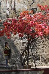 Pink Flower Tree (Marie-Marthe Gagnon) Tags: pink flowers trees flower colour tree girl stone forest mexico oaxaca biodiversity flickrchallengegroup flickrchallengewinner ancientforests mariegagnon mariemarthegagnon mariemgagnon