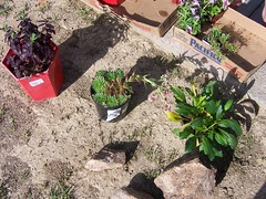 Anythink Commerce City Flower Beds (ilovemyanythink) Tags: colorado library communitygarden commercecity rangeviewlibrary