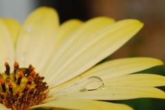 Water drop (++NiklasPhotography++) Tags: summer flower water nikon drop 2009 d60 macroflowerlovers