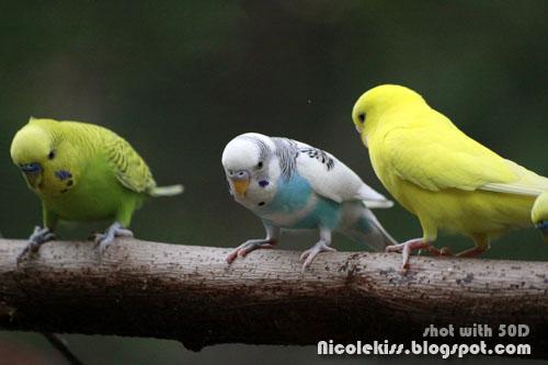 parakeets trio
