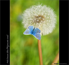 A Male Common Blue (bbusschots) Tags: ireland flower butterfly insect seeds wildflower dandelions commonblue kildare polyommatusicarus taraxacum polyommatus kilcock taraxacumofficinaleagg
