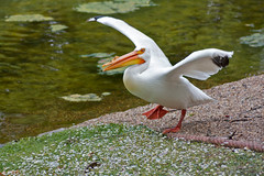 The Pelican Dance (Olly Plumstead) Tags: park uk red england orange white lake black green bird london feet grass st canon one james dance open action britain capital leg central wing beak feathers pelican daisy olly gravel jamess webbed plumstead 450d