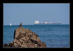 Alerta máxima (Jashir) Tags: canon spain gijón asturias playa 350 sanlorenzo asturies phalacrocoraxaristotelis cormorán canonefs55250mmf456is