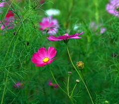 Cosmos flowers (Danny_Tran) Tags: pink flowers color canon dof bokeh cosmos hoa lovelyshot canon400d dannytran cosmosflowers platinumheartaward lovelypink ~100600views
