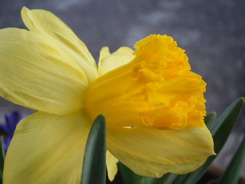 Daffodils pic