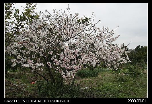 20090301Cherry_blossom_6