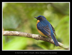 Blue Mangrove Flycatcher
