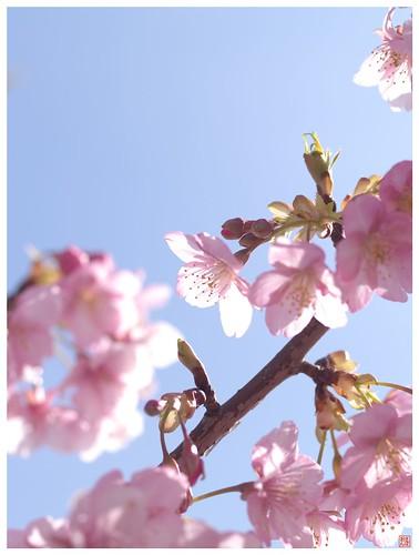 Cherry blossoms 090305 #10