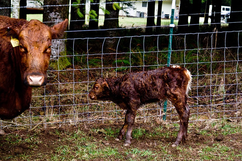 Red Calf & Momma