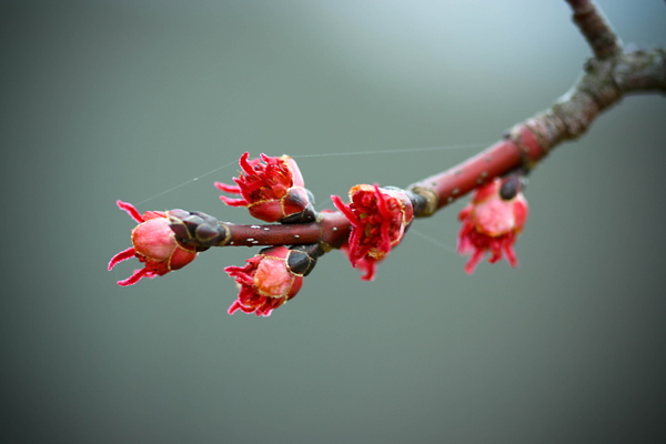 red oak buds