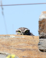 Little Owl (Athene noctua) 02 (Oretani Wildlife (Mike Grimes)) Tags: birds spain little wildlife birding owl noctua serena plain birdwatching athene steppe laserena extremadura athenenoctua oretani oretaniwildlife