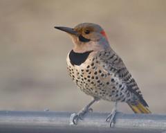 A Flicker on Flickr (lawnyo) Tags: bird spring backyard woodpecker birdfeeder iowa cedarrapids northernflicker