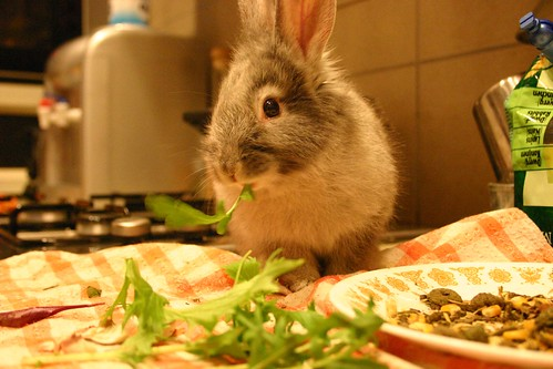 ellie rabbit eating rocket leaves