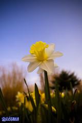 White Gold Daffodils