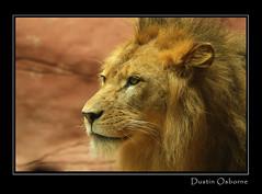 Lion (Dustin Osborne) Tags: nature face fauna king natural head wildlife australia bigcat dustin hunter osborne taronga catnipaddicts