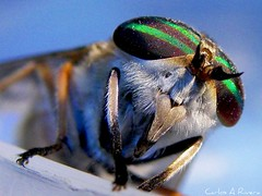 Fly (Carlos Andrs Rivera) Tags: pictures travel macro green tourism beautiful beauty america wonderful insect de fly colombia south great carlos super olympus best sp fotos sur eyed supermacro andres mosca rivera calderon 565 mejores uz insecto cauca popayan carlosrivera macrolife carlosarivera