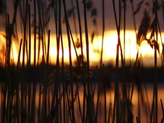Sunlit Reed 10 (danne_vaasa) Tags: sunset sky sun sunlight colour reed nature landscape helsinki scenery skies blurred tl vass kaisla kaislikko