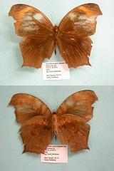 Gnophodes chelys