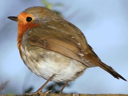 Rolly Polly Robin