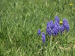 A Purple Treasure (leafytreeful) Tags: flowers blue flower green grass purple lexington kentucky arboretum bunch lexingtonky grapehyacinth universityofkentucky ukarboretum
