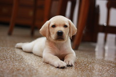 [フリー画像] [動物写真] [哺乳類] [イヌ科] [犬/イヌ] [子犬] [寝顔/寝相/寝姿] [ラブラドール・レトリバー]    [フリー素材]