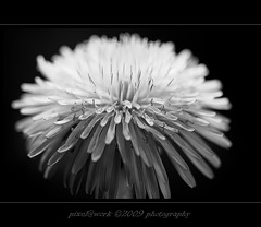 Explore 109/365 (oliver's | photography) Tags: flower nature photoshop canon eos flickr raw image  adobe copyrighted pixelwork canonef100mmf28macrousm blackwhitephotos april2009 abigfave canoneos50d pixelwork09photography oliverhoell allphotoscopyrighted