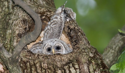 barred-owl-chick-45