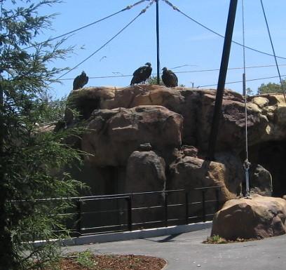 Condor Exhibit Santa Barbara Zoo