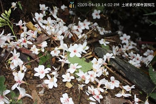 09.04.19 一探土城承天寺桐花花況 (16)