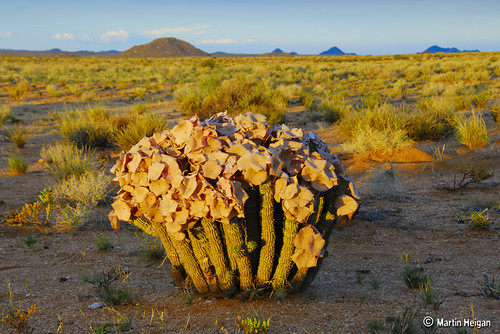 Hoodia gordonii flowering in habitat by Martin_Heigan