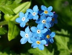 Forget-me-not (WaterBugsPics) Tags: blue wild flower nature beautiful small forgetmenot phoddastica nossasfloresourflowers macrolifechallenges