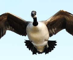 Canada Goose Landing (earlyalan90 away awhile) Tags: vosplusbellesphotos