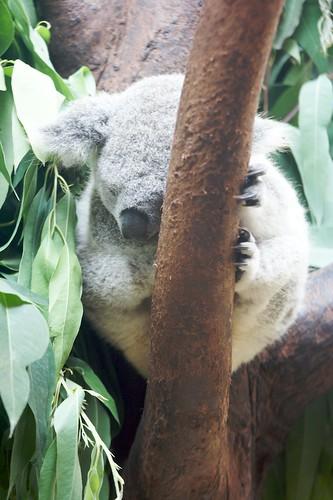 树袋熊17