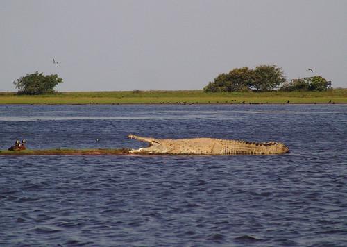 Questões e Fatos sobre Crocodilianos gigantes: Transferência de debate da comunidade Conflitos Selvagens.  - Página 2 3516764612_65303e8373