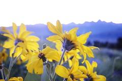 Teton Flowers (Tomas Bradley) Tags: flowers mountains wyoming tetons