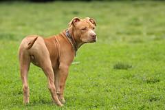 Dexter, American Pit Bull Terrier (Petra B.) Tags: pit bull terrier american