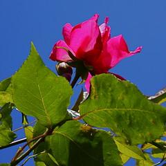 Rosa (rondendikken) Tags: flores flower fleurs blumen fiori bloemen