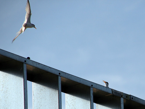 Least Terns on hotel roof