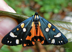 Vea (natalija2006) Tags: nature forest moth slovenia arctiidae arctiinae blueribbonwinner gozd narava supershot diamondclassphotographer platinumheartaward natureselegantshots vea kosmatinci